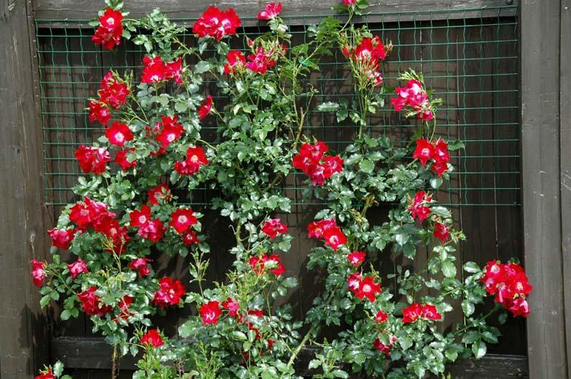 http://www.lepestki.narod.ru/images/mnogoletniki/rose_Dortmund_bush.jpg